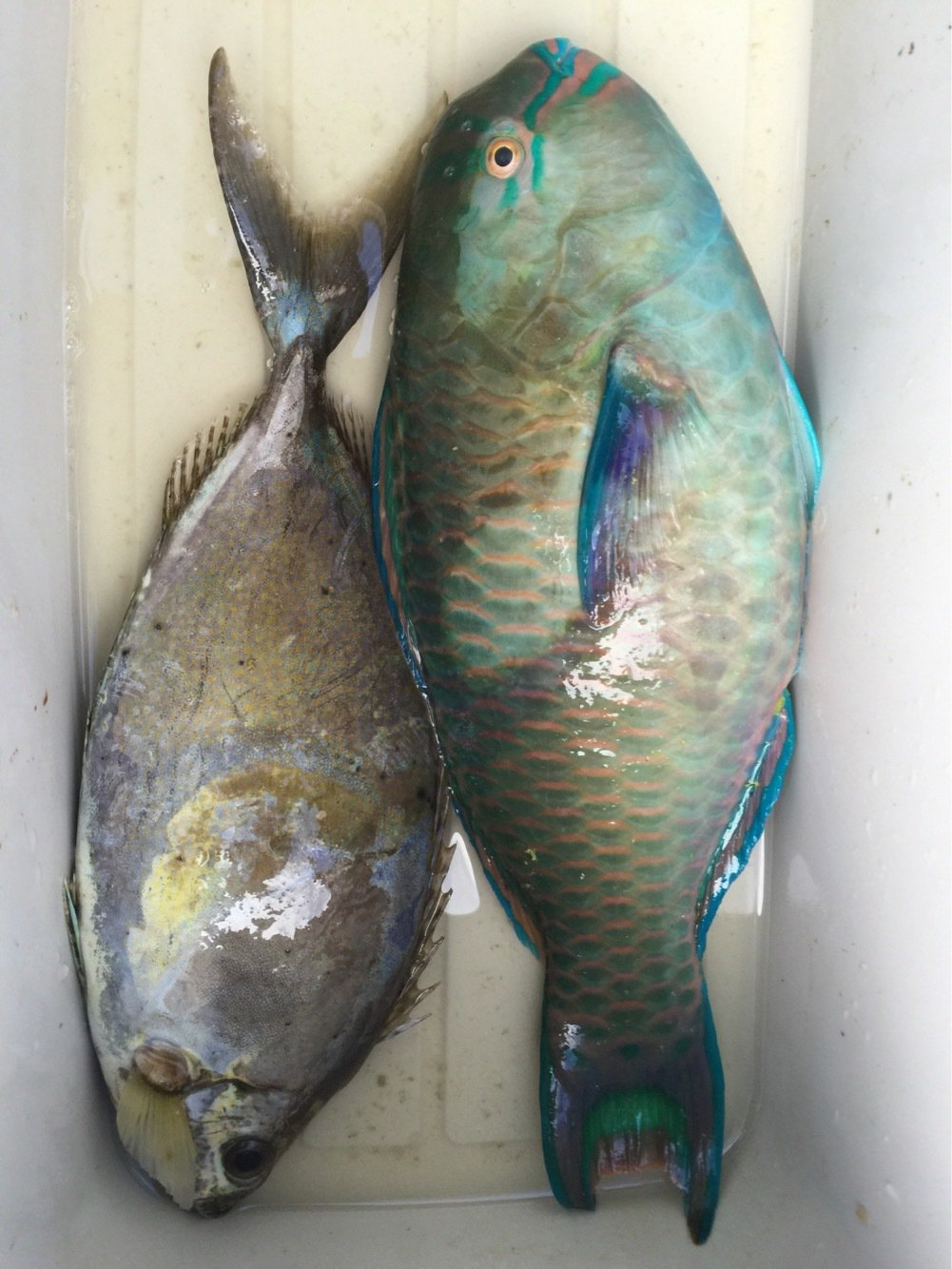 ゆうちゃんさんの投稿画像,写っている魚はハナアイゴ