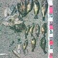 しまさんのケンサキイカの釣果写真