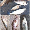 hachibouさんの福岡県福岡市でのスズキの釣果写真