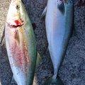 MAさんの和歌山県海南市での釣果写真
