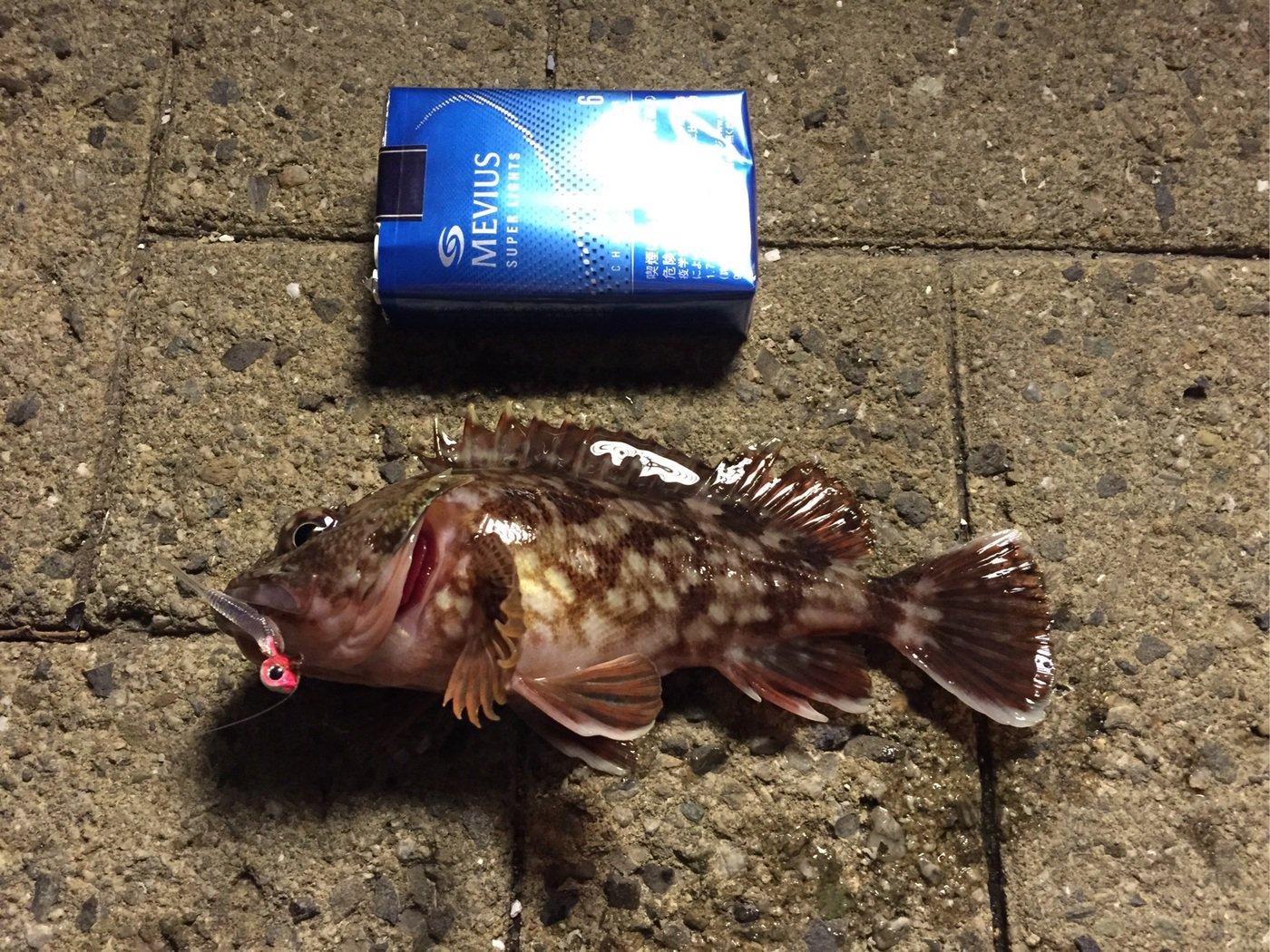 すずけんさんの投稿画像,写っている魚はカサゴ