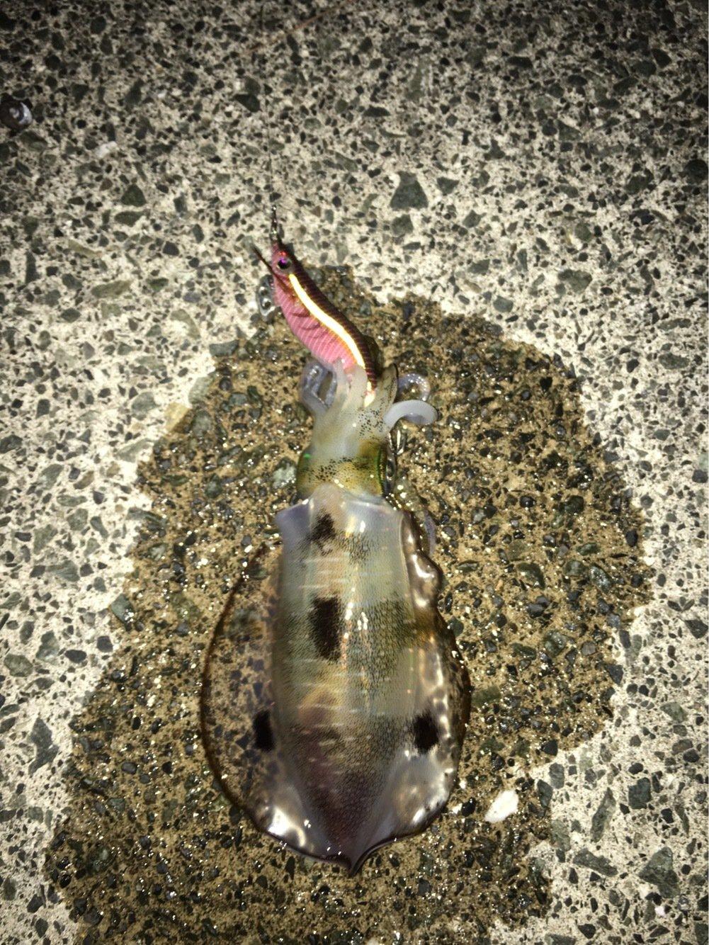 べきおさんの投稿画像,写っている魚はアオリイカ