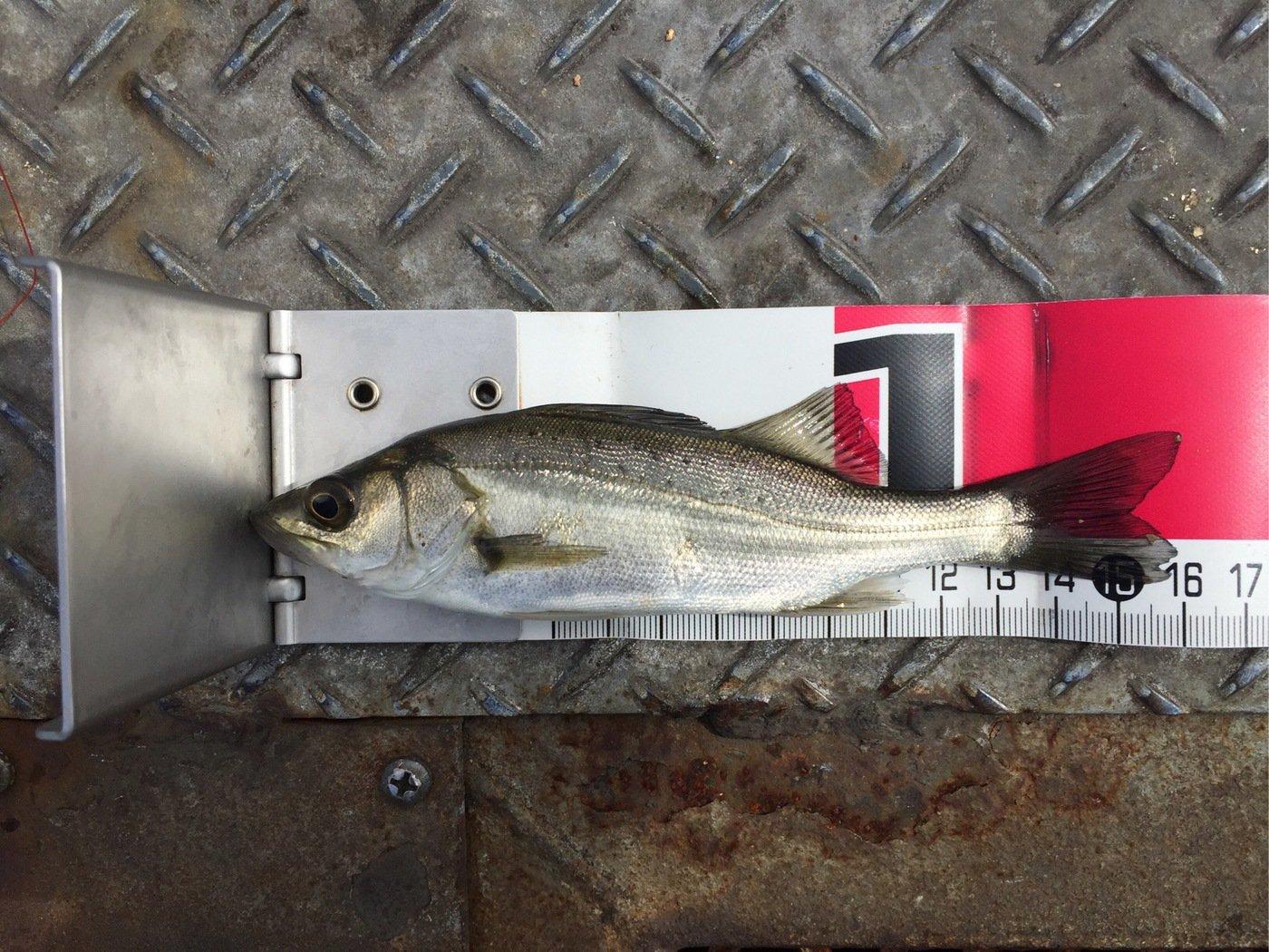 さわさんの投稿画像,写っている魚はスズキ