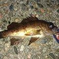 ブラックさんの石川県鹿島郡での釣果写真