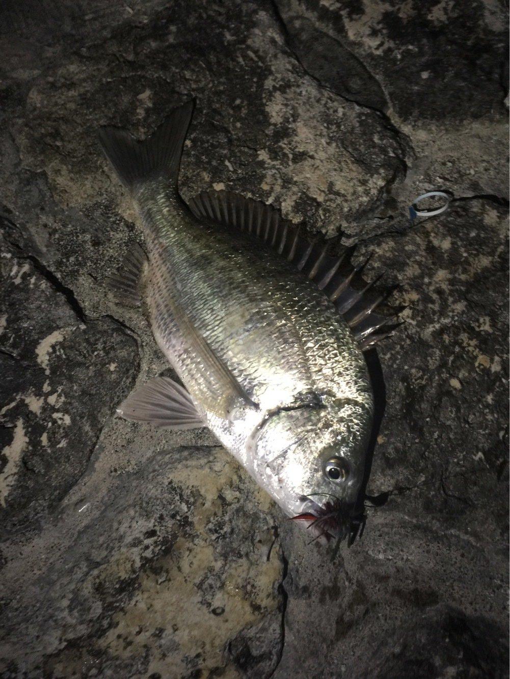 アロやんさんの投稿画像,写っている魚はクロダイ