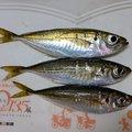 トロッコ吉田さんの兵庫県豊岡市での釣果写真