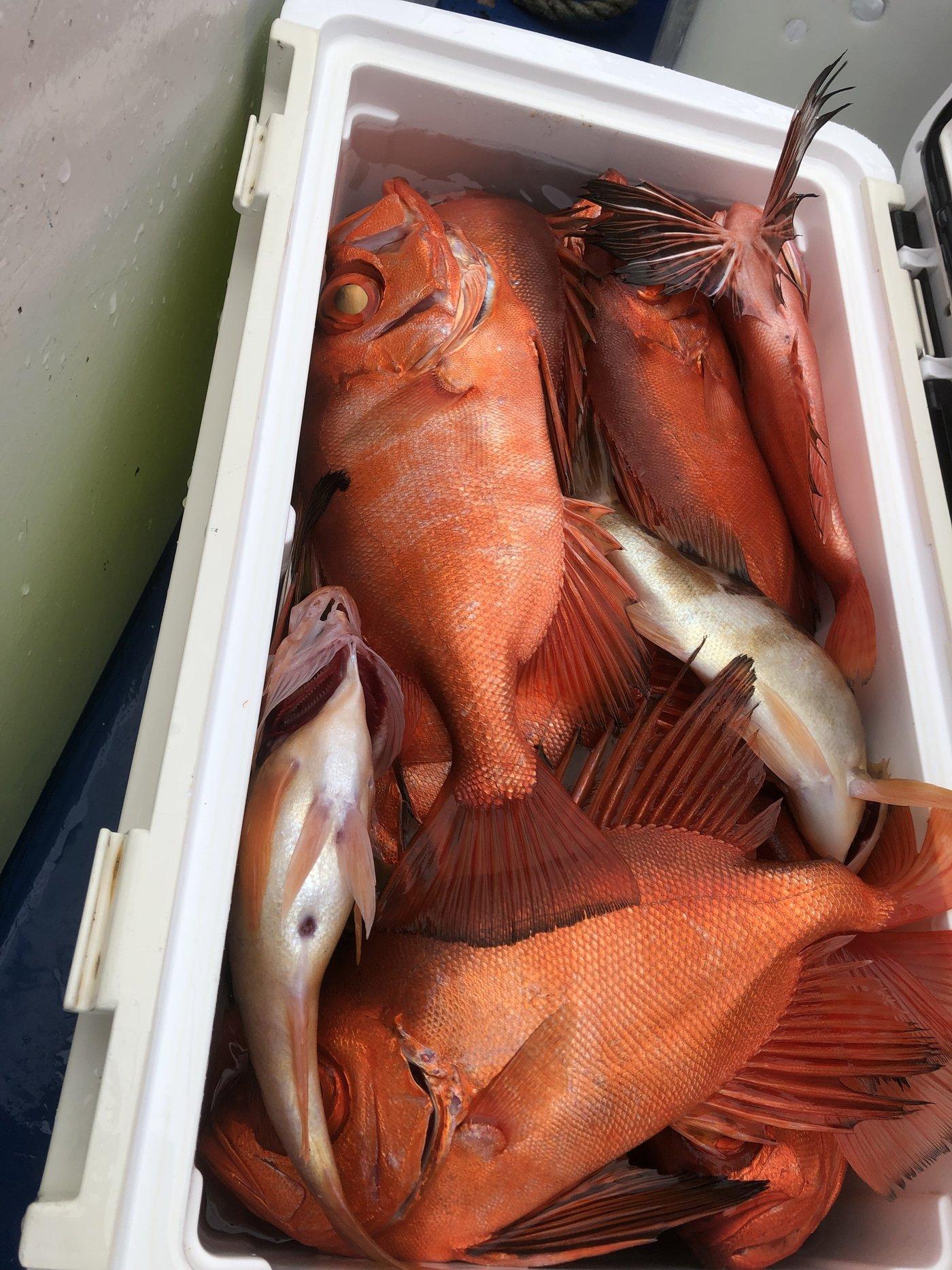 ひじりさんの投稿画像,写っている魚はキントキダイ