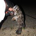 ポールさんの愛知県碧南市でのクロソイの釣果写真