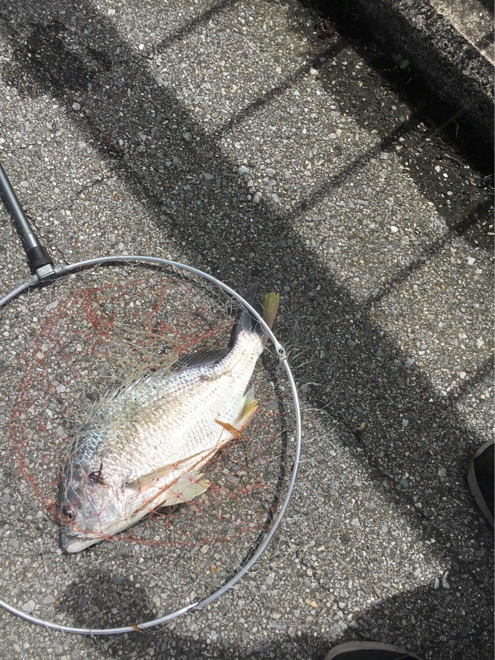 つよしさんの投稿画像,写っている魚はキチヌ