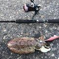 烏賊パンチ☆さんのコウイカの釣果写真