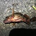 コイキングさんの兵庫県南あわじ市でのカサゴの釣果写真