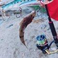 57u1さんの三重県四日市市でのコチの釣果写真