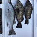 フルフルさんの熊本県天草市での釣果写真