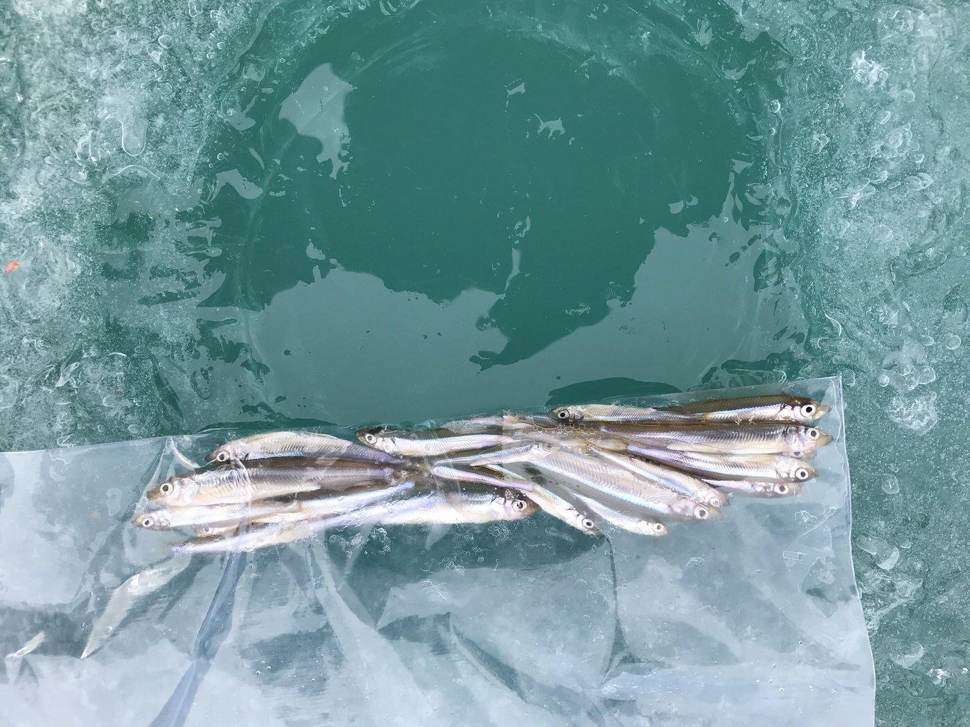 大漁會.comさんの投稿画像,写っている魚はワカサギ