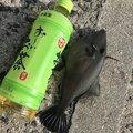 イナバさんのカワハギの釣果写真