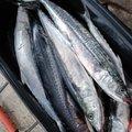 ななみんのぱぱさんの富山県射水市での釣果写真