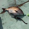 釣りバカ@カズさんの佐賀県東松浦郡での釣果写真