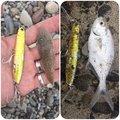 かわぽんさんの和歌山県東牟婁郡での釣果写真