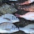 倉岡さんの熊本県水俣市での釣果写真