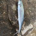 ラッシュさんの富山県射水市での釣果写真