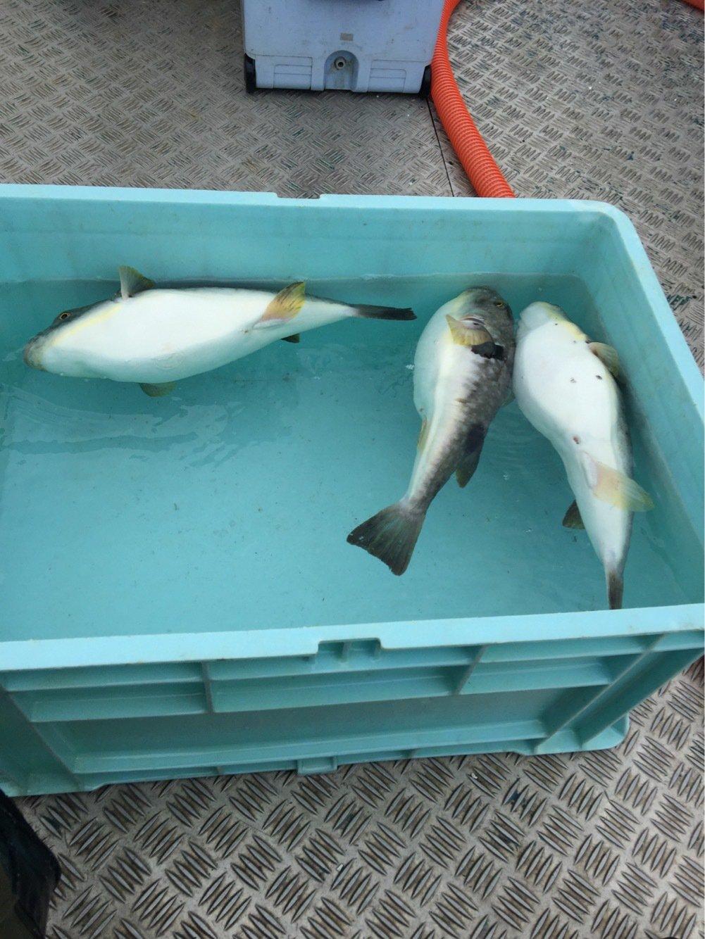 れいんぼーほたてさんの投稿画像,写っている魚はクサフグ
