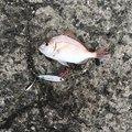 はなまるさんの広島県呉市での釣果写真