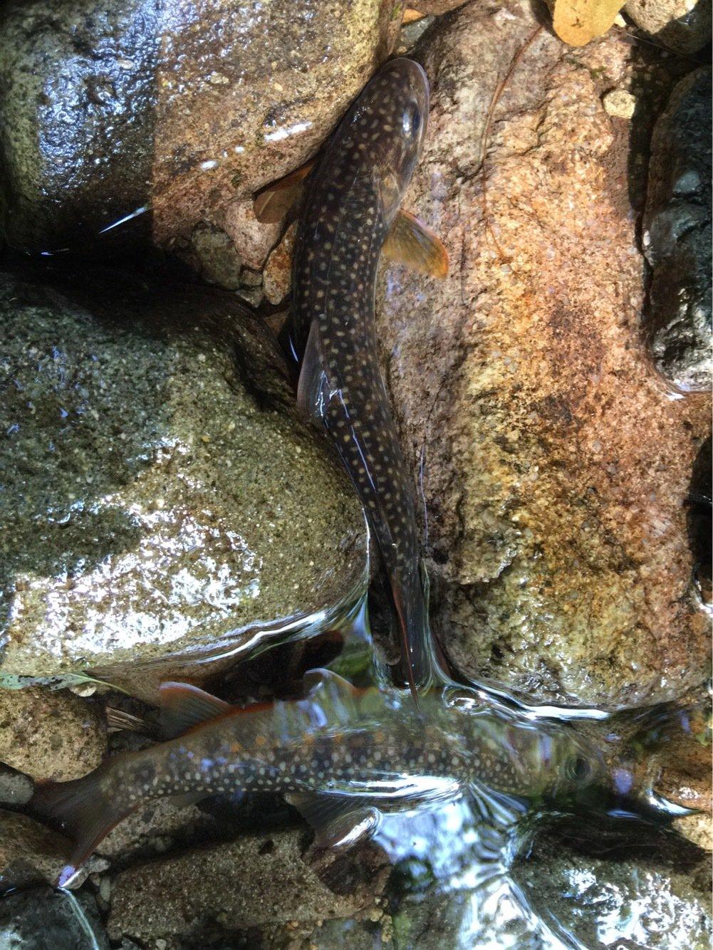 タカヒロさんの投稿画像,写っている魚はイワナ