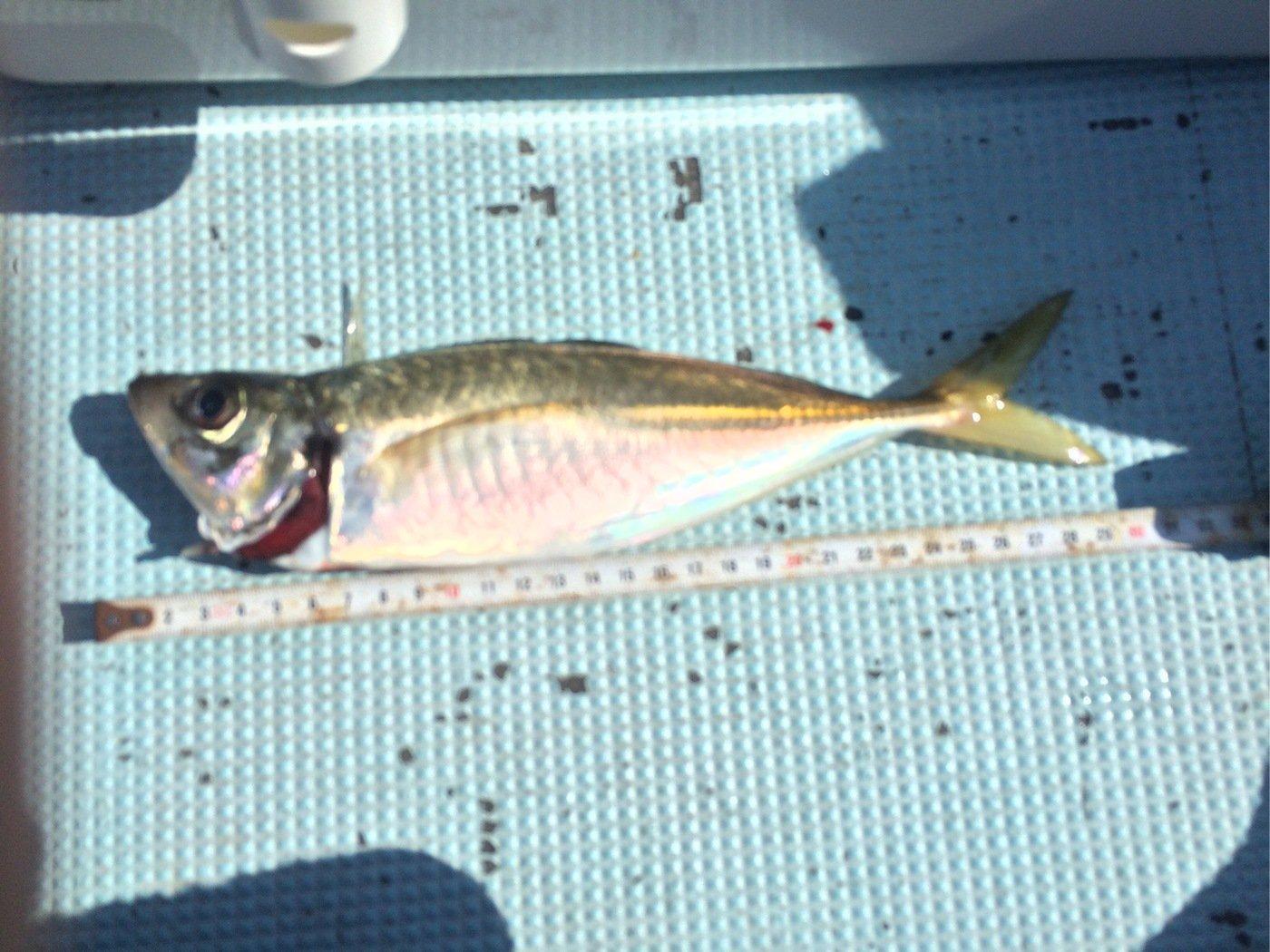 シーバスハンターさんの投稿画像,写っている魚はアジ