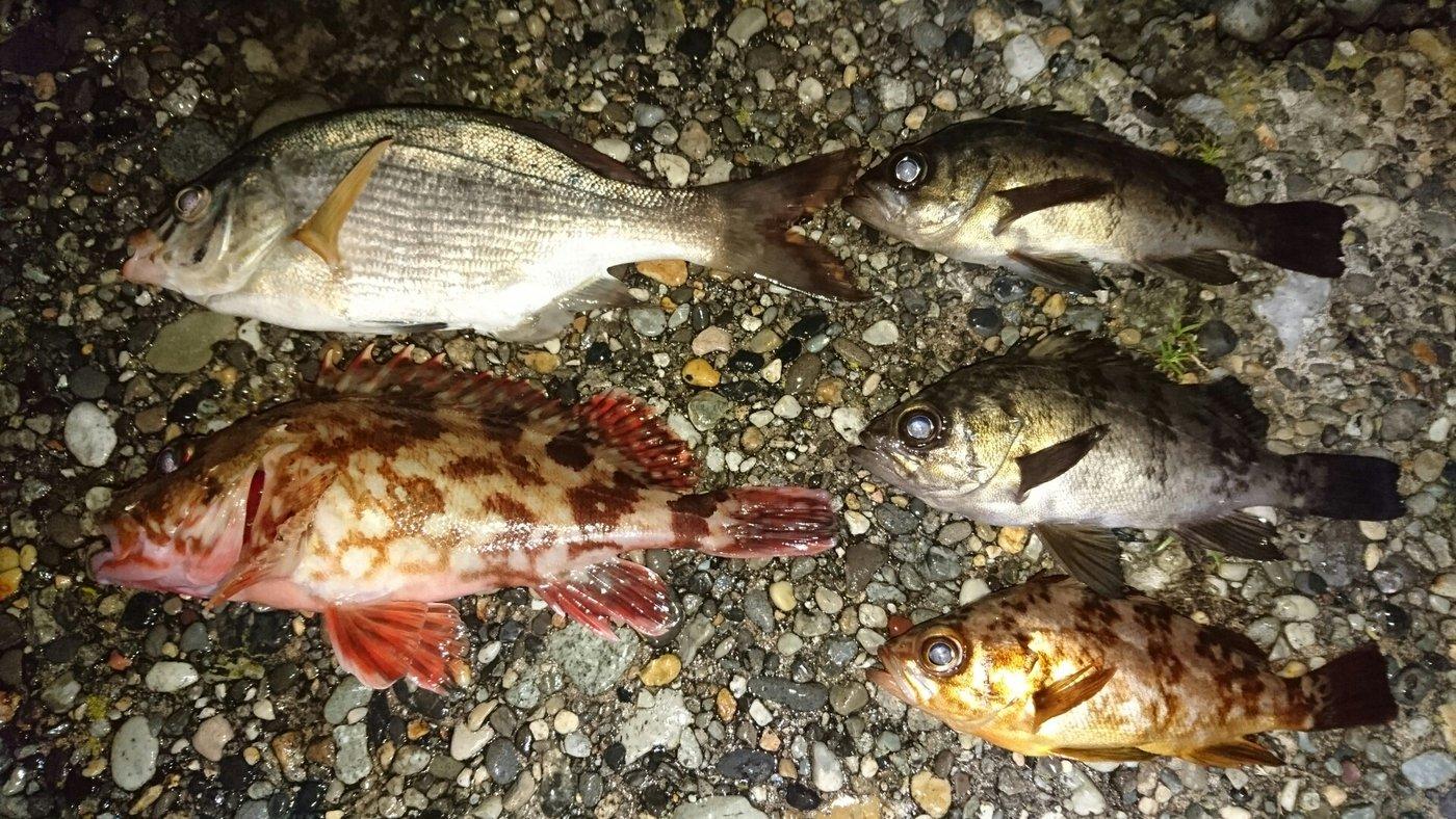 ブラックさんの投稿画像,写っている魚はウミタナゴ,メバル,カサゴ
