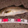 1048さんの新潟県佐渡市でのスズキの釣果写真