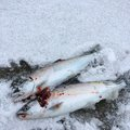 ゆういちさんの北海道寿都郡での釣果写真