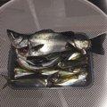 波那の慶治さんのヒラスズキの釣果写真