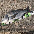 Tamotsu.Nakanoさんの島根県江津市での釣果写真