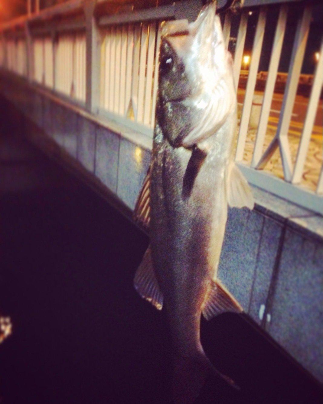 いっつーさんの投稿画像,写っている魚はスズキ