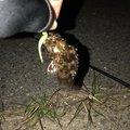 ポールさんの愛知県碧南市でのカサゴの釣果写真
