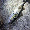 まーさんさんの千葉県銚子市での釣果写真