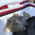 コバちゃんさんのカワハギの釣果写真