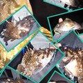 snufkin49さんの青森県青森市でのアイナメの釣果写真