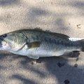 J.fukuiさんの千葉県柏市での釣果写真