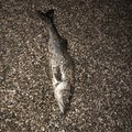 🌞変態糞釣師🌝さんの千葉県富津市での釣果写真