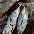 ARATAさんの鹿児島県熊毛郡での釣果写真