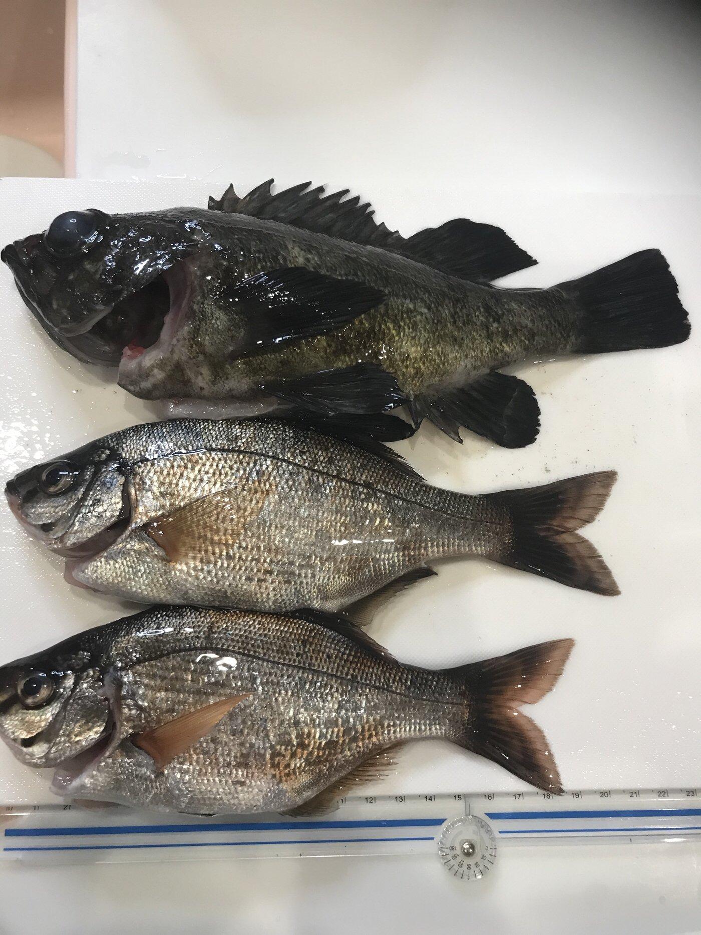 Sakamotp Keiさんの投稿画像,写っている魚はメバル,ウミタナゴ