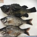 Sakamotp Keiさんの神奈川県でのウミタナゴの釣果写真