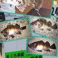 snufkin49さんの北海道でのクロソイの釣果写真