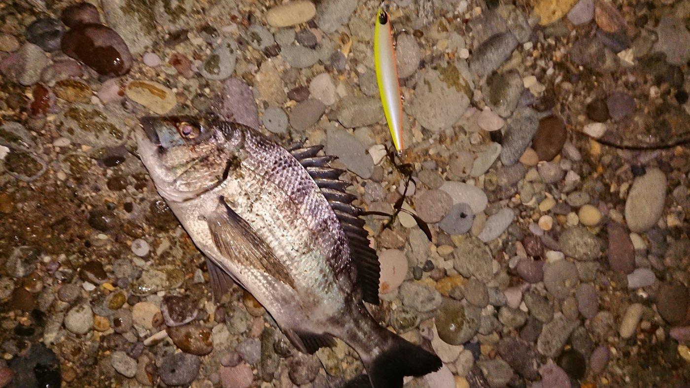 1048さんの投稿画像,写っている魚はクロダイ