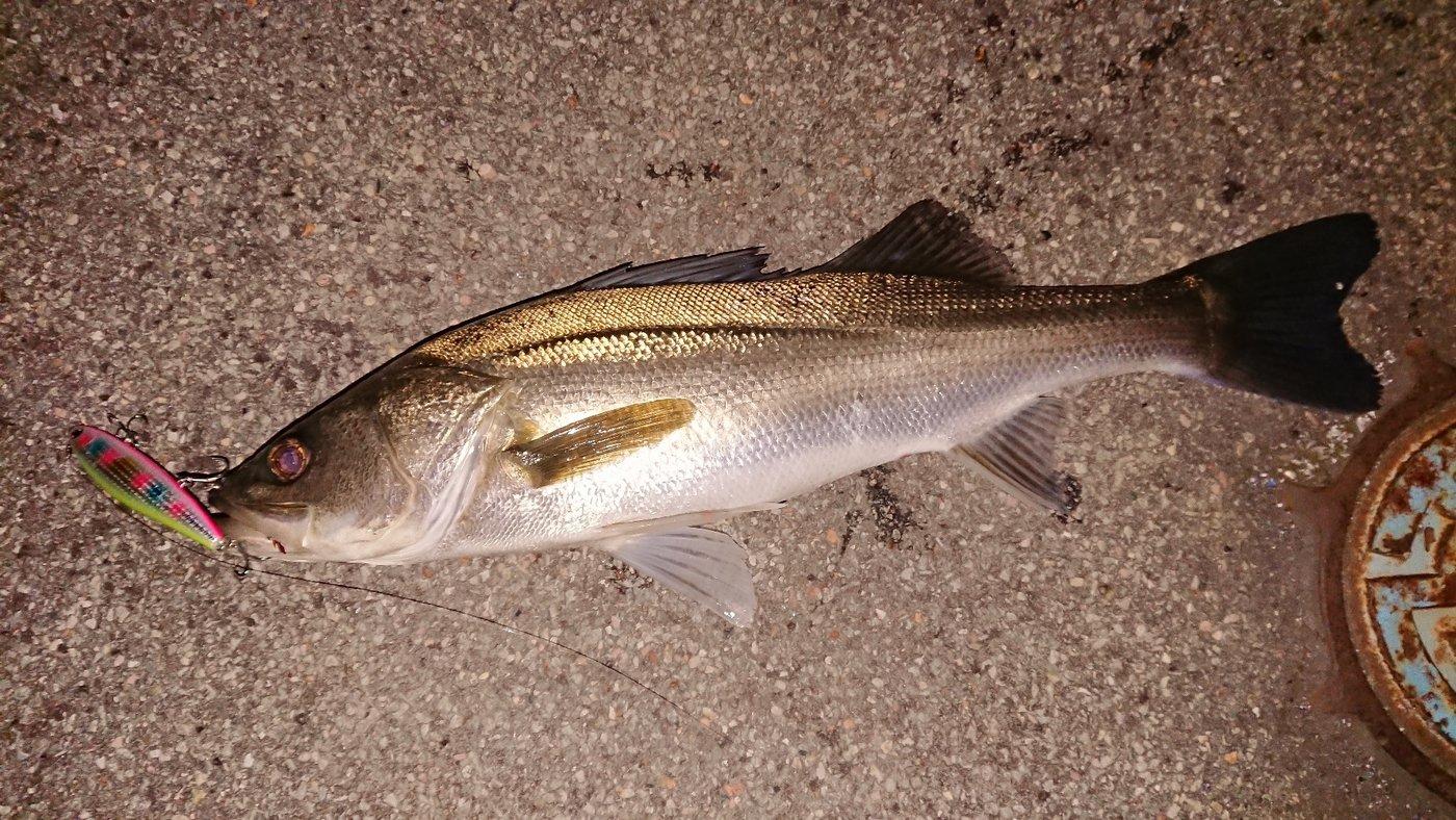 1048さんの投稿画像,写っている魚はスズキ