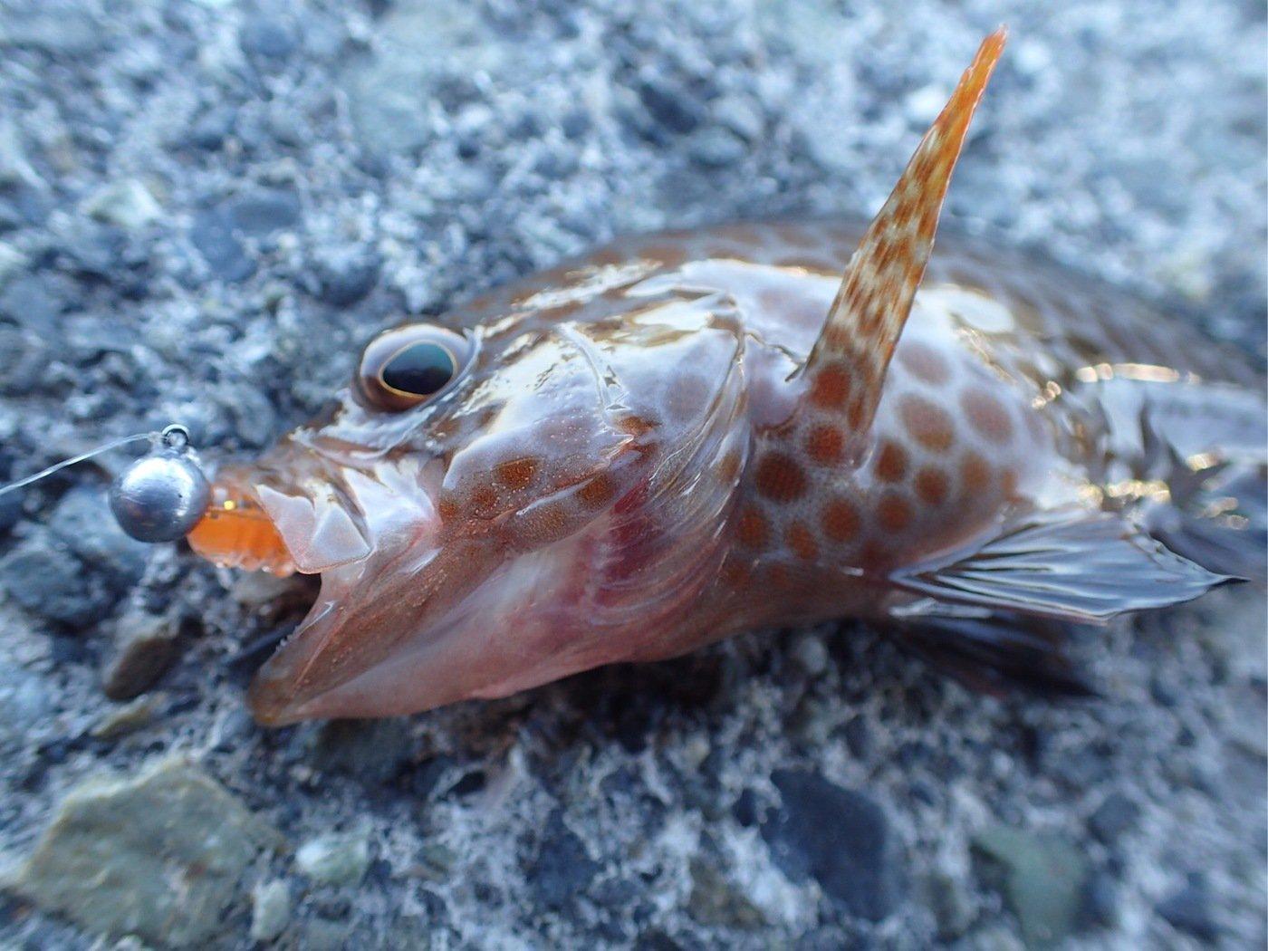かつてのバスプロさんの投稿画像,写っている魚はオオモンハタ
