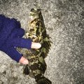 10-06さんの三重県津市でのタケノコメバルの釣果写真