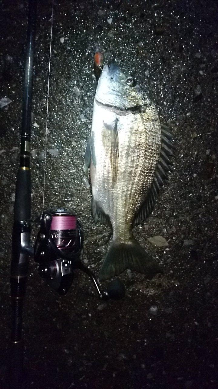 孤高の南国アングラーさんの投稿画像,写っている魚はクロダイ