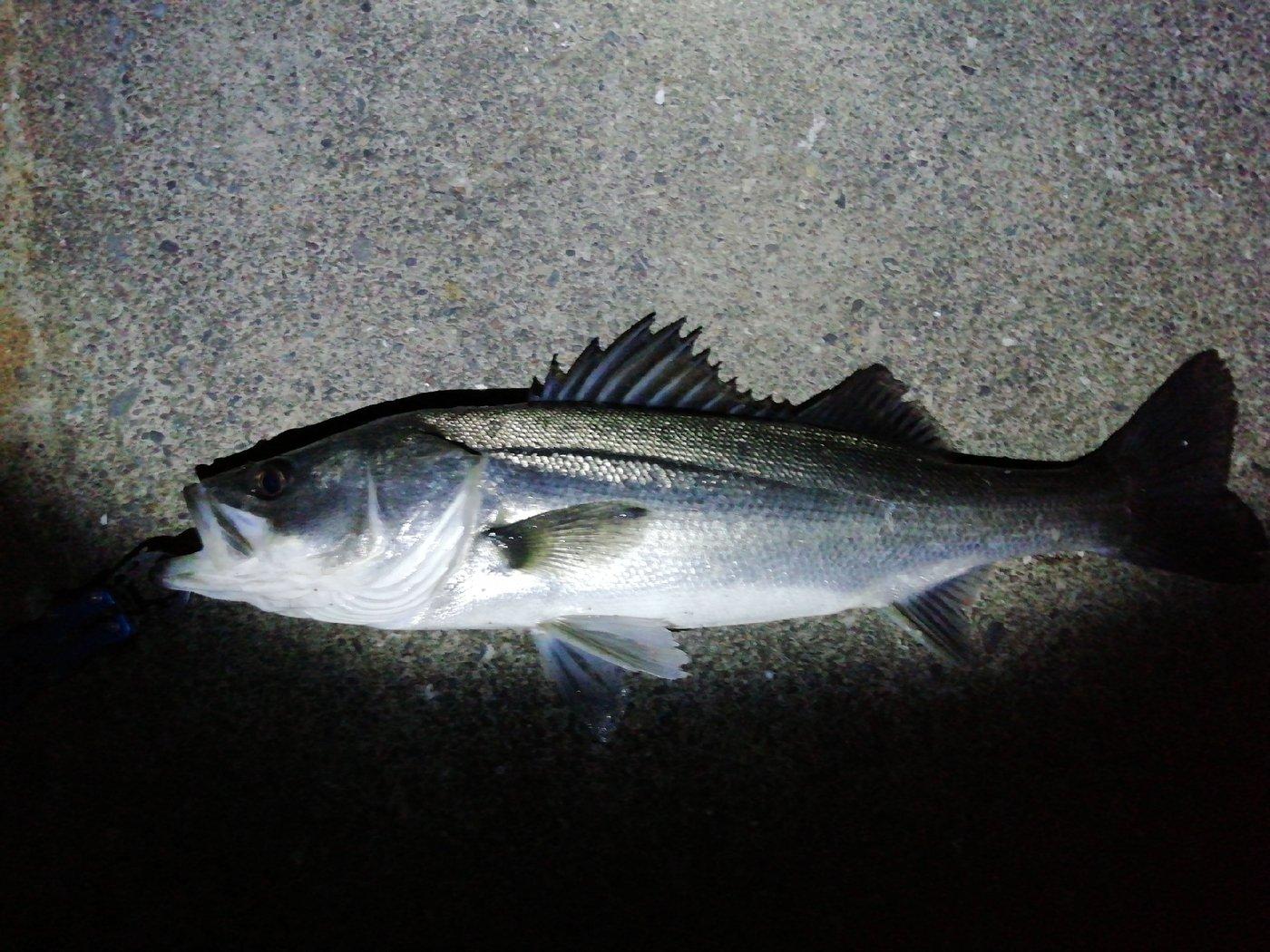 スパイシー男爵さんの投稿画像,写っている魚はスズキ